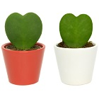 Sainsbury's Valentines Lucky Heart Plant